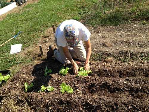 Setting out lettuce